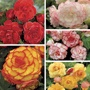Begonia Picotee Collection