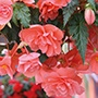 Begonia Illumination Salmon Pink F1