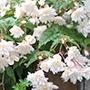 Begonia Illumination White F1