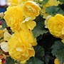 Begonia Illumination Lemon F1