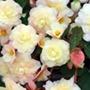 Begonia Sweet Pearl Cascade