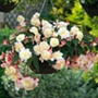 Begonia Sweet Pearl Cascade young plants