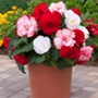 Begonia Majestic Romance Collection