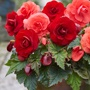 Begonia Amerihybrid Rose Collection