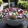 Carnations for Pots Collection