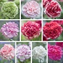 Carnation Perpetual Collection