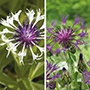 Centaurea Montana Collection