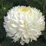 Chrysanthemum 'Billy Bell'