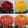 Chrysanthemum Hogmanay Collection