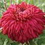 Chrysanthemum Evesham Vale