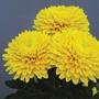 Chrysanthemum Minstreel Yellow