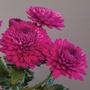 Chrysanthemum Minstreel Dark