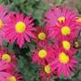 Chrysanthemum Mrs Jessie Cooper