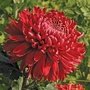 Chrysanthemum Cranbrae Red