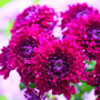 Chrysanthemum Pompon Purple
