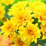Chrysanthemum Sunny Margaret