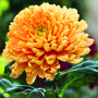 Chrysanthemum Astro Bronze