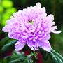 Chrysanthemum Allouise Pink