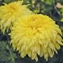 Chrysanthemum New Stylist