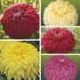 Chrysanthemum Exmoor Collection