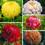 Chrysanthemum Growers Collection