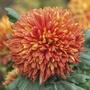 Chrysanthemum Tom Pearce