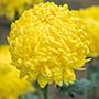 Chrysanthemum Rivalry Yellow