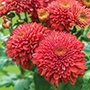 Chrysanthemum Gompie Red (Early)