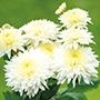 Chrysanthemum 'Gompie White'