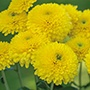 Chrysanthemum Littleton Yellow