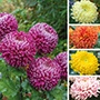 Chrysanthemum Broadway Collection