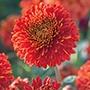 Chrysanthemum Margaret Red