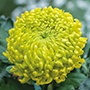 Chrysanthemum Jade Green