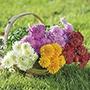 Chrysanthemum Quantock Collection