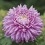 Chrysanthemum Pandion Pink