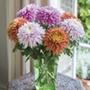 Chrysanthemum Pandion Collection