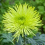 Chrysanthemum Tula Green