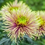 Chrysanthemum Tula Improved