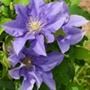 Clematis Boulevard® Olympia