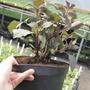 3 litre dahlia plant
