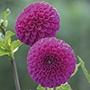 Dahlia Addison June Plants