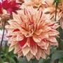 Dahlia Babylon Gevlamd Plants
