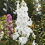 Delphinium Centurion White