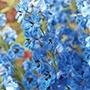 Delphinium Centurion Gentian Blue AGM