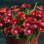 Delosperma Sundella Red