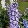 Delphinium Aurora Lavender