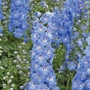 Delphinium Aurora Light Blue