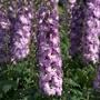 Delphinium Aurora Pink Dawn