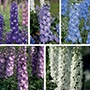 Delphinium Aurora Collection