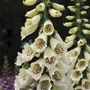 Digitalis Dalmatian Cream